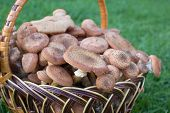 Basket Armillaria Mellea, A Full Basket Of Mushrooms Honey Is Close-up poster