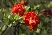 Rhododendron Bush During Flowering. Beautiful Red Rhododendron Flowers On The Background Of The Gard poster