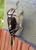 Woodpecker With A Red Top