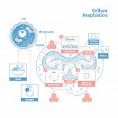Cellular Respiration Is A Set Of Metabolic Processes That Take Place In The Cells Of Organisms To Co poster