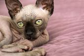 Cat, Breed, Canadian Sphynx Lying On Bed And Looking, Bald Cat, Cat With Green Eyes, Bald Cat poster
