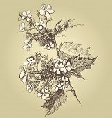 hand drawn guelder rose