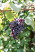 A Bunch Of Ripe Juicy Blue Wine Grapes Hanging On A Vine Ripe poster