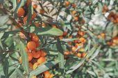 Branch Of Ripe Sea-buckthorn Berries. Ripe Orange Sea Buckthorn Berries On A Branch With Green Leave poster