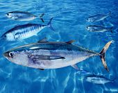 Albacore Thunnus alalunga fish between bluefin tuna school
