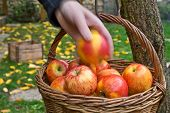 Picking Of Apples.red Apples Are In The Wicker Basket. poster