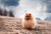 Pomeranian Dog Outdoor.portrait Of Beautiful Pomeranian Dog. Dog Print poster