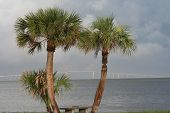 stock photo of skyway bridge  - view of Sunshine Skyway Bridge thourgh Palmetto palm tress on Fort DeSoto Beach shore - JPG