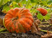 Ripe Orange Flat-shaped Pumpkin Lies On A Vegetable Garden In A Natural Environment. Pumpkin In Rura poster