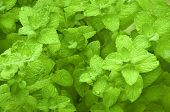 Mentha herb organic herb background