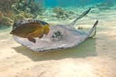 Southern Stingray And Fish