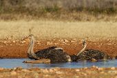 Drinking Ostrich in Etosha National Park, Namibia