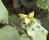 Green Unripe Hazelnuts On The Tree
