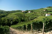 Rolling Wineyards In Barolo, Italy
