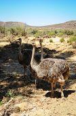 African Wild Ostrich