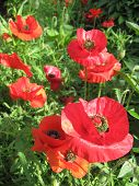 beautiful red flowers of red poppy