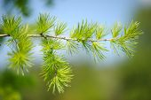 The Branch Of Larch In The Spring
