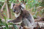 Koala australiano nativo