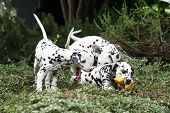 Dalmatian Puppies Playing In The Garden