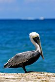 Little White Black Pelican