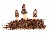stock photo of morchella mushrooms  - Three gray morel mushrooms  - JPG