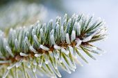 Frozen Pine Tree Branch
