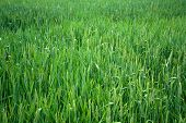 Green Wheat Field And Countryside Scenery