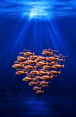 fish swarm in heart formation