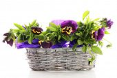 Beautiful pansies in basket isolated on white