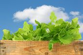 fresh turnip tops (turnip greens) in a wooden crate against a blue sky with clouds