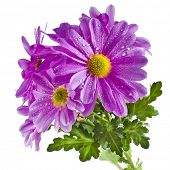 beautiful bouquet of pink chrysanthemum flower daisy isolated on white background