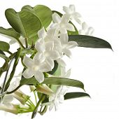 picture of climber plant  - Jasmine Stephanotis plant isolated on a white background - JPG