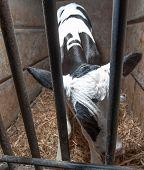New born calf at the dairy farm