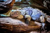 Rhinoceros Iguana (Cyclura cornuta) on the wooden branch