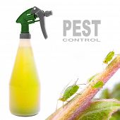 foto of pest control  - Plastic sprayer with insecticide and The Green Aphids on a rose - JPG