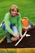 Gardening - woman sowing sugar peas into the soil