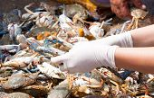 Blue Crab Or Horse Crab In Market