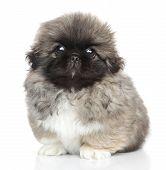 Pekingese Puppy Portrait