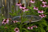 Bird Bath And Cornflowers