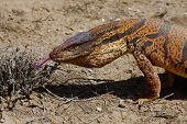 picture of giant lizard  - Monitor Lizard  - JPG