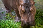 stock photo of hippopotamus  - Hippopotamus eating green grass from feeder - JPG