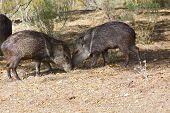Two wild Javelinas pigs in desert foraging