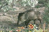 Wild Pig Javelina Hog
