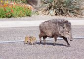 stock photo of javelina  - Javalina mother with two babies crossing the street in Tucson - JPG