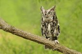 stock photo of screech-owl  - owl sitting on a tree limb in nature daytime summer 