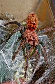 Portrait Of Cromatopelma Cyaneopubescens Tarantula Spider Macro