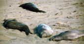 Young And Adult Seals Sunbathing Along The Sand