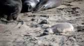 Sleeping Young And Adult Seals Sunbathing Along The Sand