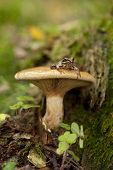 foto of orange frog  - inedible mushroom  - JPG