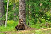 Brown Bear Cub In Forest